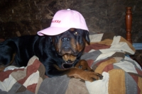 rottweiler with hat on