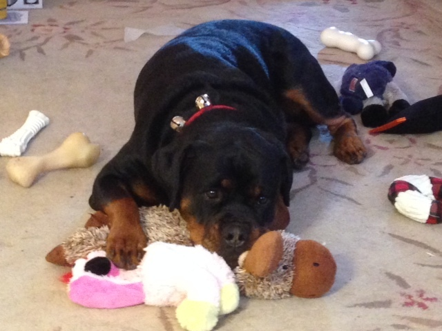 rottweiler playing with toys