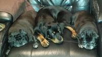 rottweiler laying with pugs