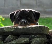 rottweiler with head resting on rock