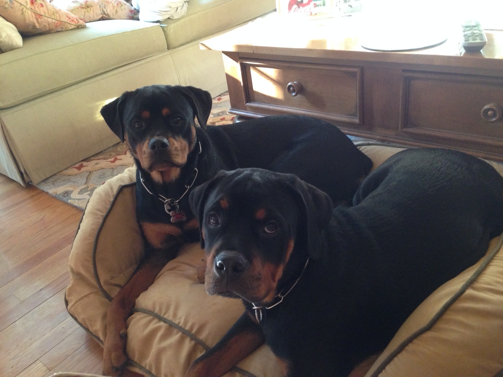 2 rottweilers sitting in chair