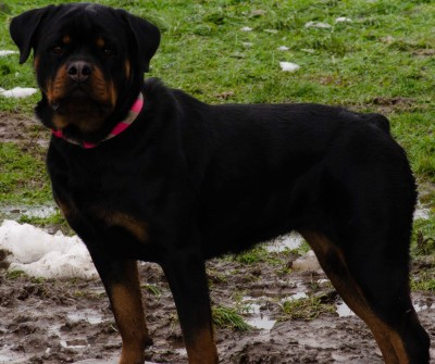rottweilers, rottweiler for sale